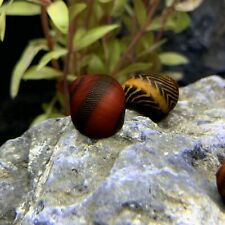 2 Red Racer Nerite Snail (Vittina waigiensis) - Live Freshwater Snail Plants