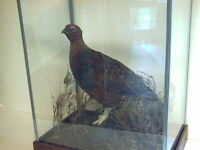Red Grouse (male) an excellent mount, in a glass case with a moorland scenery