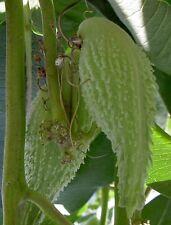 20 Samen Papageienblume winterharte Seidenpflanze - Asclepias syriaca Rarität