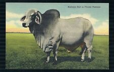 VINTAGE LINEN POSTCARD OF A BRAHMAN BULL IN FLORIDA PASTURES UNUSED