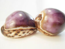 "2 Large Purple Top Tiger Cowrie Shells Seashell 3"" Beach Crafts Nautical Decor"