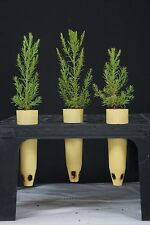 3 Giant Sequoia Redwood Sequoiadendron Giganteum Tree Seedlings In Containers 16