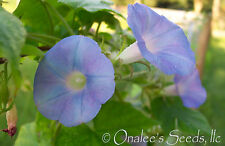 24+ Native BLUE,Ivy Leaved Morning Glory Seeds Ipomoea hederacea, Ship from USA