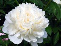 10 Rare White Peony Seeds Perennial Flowers Garden Summer Decor Free Shipping