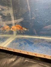 Lemon Head Calico Oranda Goldfish