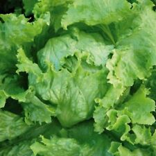 Full Sun Temperate Lettuce Vegetable Plant Seeds