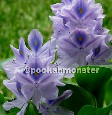 Blooming size, 3 - Giant Water Hyacinth floating pond canopy, Koi food plant bog
