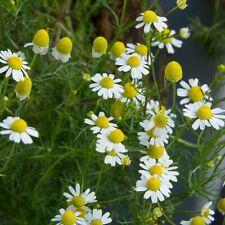 200 Organic German Chamomile Herb Seeds- (Non Gmo) Matricaria recutita-P022
