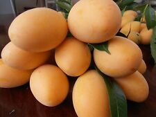 Bouea macrophylla 5 Seeds, Marian plum, Plum mango From Thailand