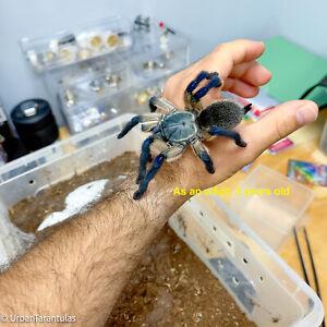 Communal Tarantula Blue Baboon BABY - Monocentropus Balfouri baby Spider Feeders
