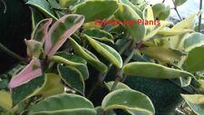 """HOYA - CARNOSA - TRICOLOR  - 1 LIVE PLANT - 4"""" POT"""