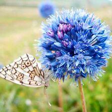 Allium caeruleum Blue Flowers Ornamental Onion 1- bulb