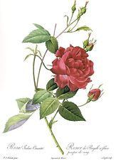 """1990 Vintage REDOUTE ROSE """"BLOOD RED CHINA, CRUENTA"""" COLOR Art Print Lithograph"""