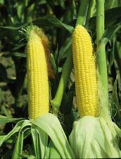 Vegetable - Sweetcorn - Sundance - 1000 Seeds - Bulk