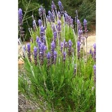 Lavandula dentata / Fringed Lavender / Good house plant / 50 Seeds