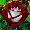 20 stk Rosensamen Rose Samen Rubin Rot Weiß Saatgut Samenpflanzen Garten Sa F9G4