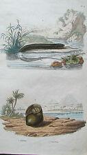 Gravure en couleur XIXè s. Amphiume. Ampullaire. Décor égyptien.