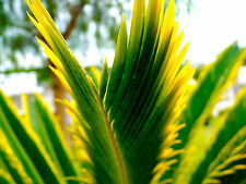 1 SEED Cycas revoluta AUREA seme semillas VARIEGATE palm no stapelia huernia