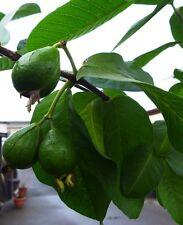 Guave Guayava Goiaba guajave echte Guave  ca. 160 - 180 cm