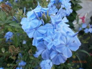 Plumbago blue,plant
