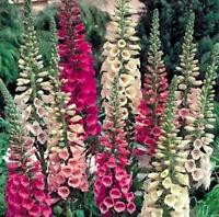 Dwarf Foxglove Seeds, Mixed Foxgloves, Heirloom Flower Seeds, Short Spikes 100ct