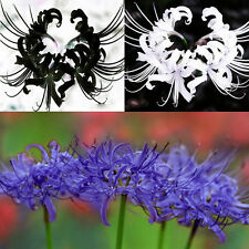 5 Bulbs Blue Lycoris Radiata Spider lily Lycoris Bulb, Flower Seeds