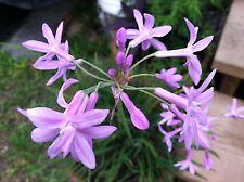 Society Garlic Tulbaghia Violacea pint plant FREE SHIP