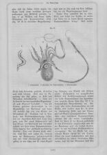 Papiernautilus Argonauten Argonauta nodosa Tintenfisch HOLZSTICH von 1868 knobby