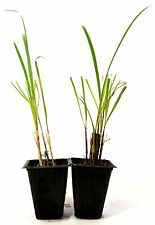 Lemon Grass - 2 Pack Mature Hardy Easy to Grow Plants Cooking Cymbopogon