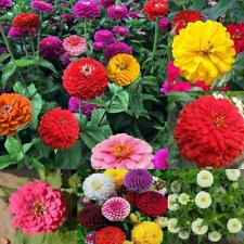200 Mixed Colors California Giant Zinnia Elegant Flower Seeds + Gift Home Decor