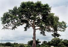12 Semillas - Ceiba - CEIBA PENTANDRA - Jardín Árbol - Tree Seeds Samen Semi