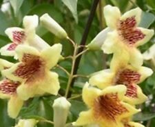 TIFFANY PANDOREA native climbing large ivory yellow red flowers plant 140mm pot