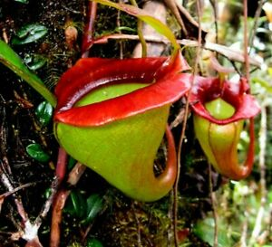 Nepenthes Jacquelineae 🍃  ⭐ RARE HIGHLANDER⭐ Fresh Seeds 🌱