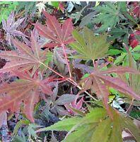 1 X Acer Anne Irene Deciduous Japanese Maple Tree Hardy Garden Plant