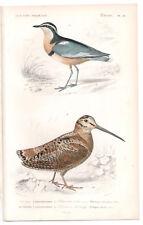 1849 Original Birds Print Woodcock Pl 22, by Ch. Orbigny, Atlas Volume 1