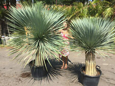 Yucca Rostrata Large specimen plant Hardy exotic Tropical Garden