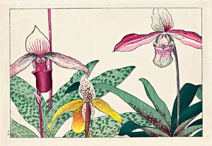 Cypripedium by Tanagami Konan A4 High Quality Canvas Art Print