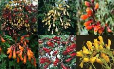 NEW: DAZZLING CHILEAN GLORY VINE 'FIREWORKS' MIXED SEED