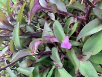 Purple Heart Wandering Jew Plant 10 Cuttings 6-8 inches