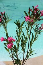 3 Oleander Stecklinge - EMMA - Blüten wie kleine Röschen