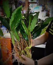 L Anubias Minima (20+cm) x2 live Plant tropical fish aquarium