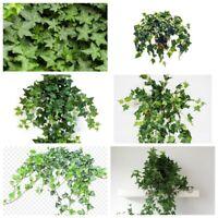 50Pcs Ivy Liana Seeds Hedera Perennial Evergreen Climbing Plant Home Garden