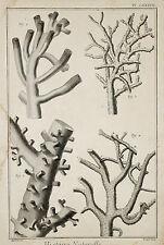 Histoire Naturelle-ORIG grabado 1760-polypiers röhrenkorallen acuario