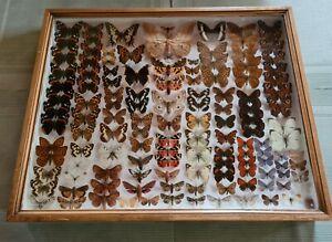 Schmetterlingsammlung - Schaukasten europäische Tag - und Nachtfalter