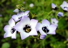 BIRD'S EYES - GILIA TRICOLOR 100 FRESH SEEDS FREE SHIPPING