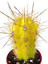 10 Oreocereus celsianus RARE CACTUS SEEDS SEMI KAKTEEN no cereus aztekium orbea