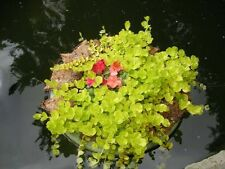 10 Creeping Jenny Aquatic Pond Plant Perrenial ~ Watergarden Koi Lily Goldfish