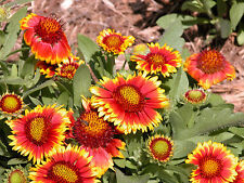blanket flower, DROUGHT TOLERANT, 40 seeds! GroCo*
