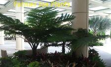 """CYATHEA AUSTRALIS - AUSTRALIAN TREE FERN - 1 LIVE PLANT - 4"""" POT"""