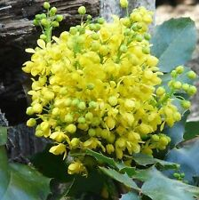 OREGON GRAPE SEEDS MAHONIA REPENS GROUND COVER FLOWER POT 20 SEED PACK
